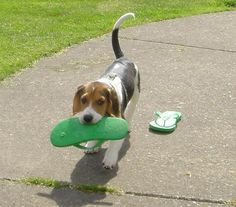 Flip flop thief.. that is what peanut would do.. beagles...