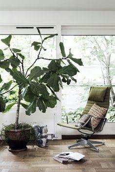 Beautiful indoor outdoor figtree