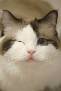 Me derreto com esses gatos aw ❤ Pretty Animals, Pretty Cats, Cute Funny Animals, Beautiful Cats, Cute Baby Animals, Animals Beautiful, Funny Cats, Cute Baby Cats, Cute Cats And Kittens