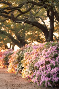 Azaleas in the Spring, White Point Gardens, Charleston, SC © Doug Hickok  All Rights Reserved