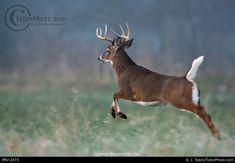 Whitetail Deer Pictures, Deer Photos, Moose Deer, Big Deer, Running Photos, Deer Running, Hunting Pictures, Fallow Deer, Hunting Girls