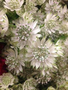Astrantia - this is what I was telling you about to provide texture and a soft pinky gold colour in your flowers Purple Wedding Flowers, White Wedding Bouquets, White Flowers, Beautiful Flowers, Exotic Flowers, Yellow Roses, Bridal Bouquets, Diy Flowers, Pink Roses