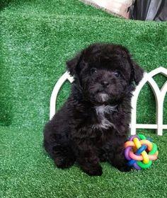 Cecilia1 Poodle Puppy Miniature, Mini Poodle Puppy, Teacup Poodle Puppies, Tiny Toy Poodle, Poodle Puppies For Sale, Poodle Mix, Toy Puppies, Cute Puppies, Teacup Poodles For Adoption