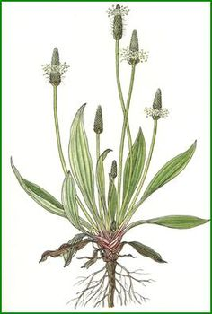 Plantain (Plantago major or Plantago lanceolata) is a great skincare and beauty herb that grows freely in your lawn as a weed. Come and read more about its beauty properties at www.herbhedgerow.co.uk.