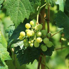 #Piante #Vite da Vino Cacchione -Spedizione Gratuita da €50 via @europlantsvivai