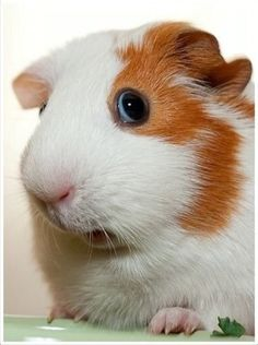 Close up of a beautiful Guinea Pig <3