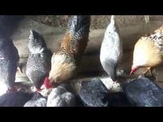 почему куры не несут яйца - YouTube