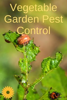 Here are some natural ways to control vegetable garden pests. | Gardening Tips | Tips for Gardeners