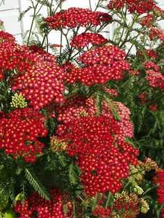"""Gorgeous red yarrow: Achillea Paprika. New German hybrids flower from summer to early fall. Irresistible to butterflies. Excellent fresh cut flowers or dried. Remove spent blossoms to promote continuous flowering. Ruby red to salmon rose. Robust spreader.   Height: Medium 2' / Plant 14"""" apart  Bloom Time: Summer to Early Fall   Sun-Shade: Full Sun to Mostly Sunny   Zones: 3-9     Soil Condition: Normal, Sandy   Flower Color / Accent: Red / Red"""