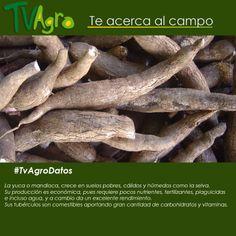 #TvAgroDatos El cultivo  de la yuca, es una opción muy rentable por su producción y cosecha.