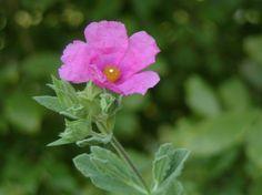 Gentle Rock Rose is always a choice when treating #winterskin  #aromahealing #essentialoils #winterfun