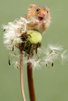 Super Cute Photos of Harvest Mouse - Animals wild, Animals cutest, Animals funny, Animals drawings Nature Animals, Animals And Pets, Beautiful Creatures, Animals Beautiful, Cute Baby Animals, Funny Animals, Harvest Mouse, Cute Mouse, Baby Mouse
