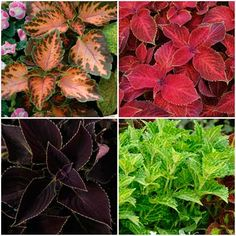 Find out why coleus was named the annual of the year by the National Garden Bureau and why you should add this shade annual to your garden.