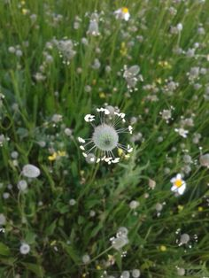 Flor marciana