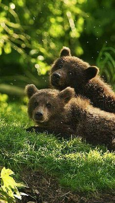 **Bear cubs (KO) Waiting for Mama. Thinking about dinner, naughtiness and nap time. It's what bear cubs do. Nature Animals, Baby Animals, Cute Animals, Fluffy Animals, Wild Animals, Mundo Animal, My Animal, Beautiful Creatures, Animals Beautiful
