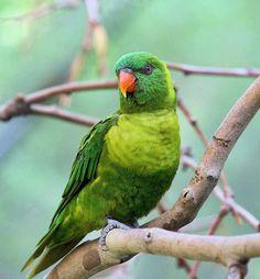rainbow-lorikeet-parrot-facts-trichoglossus-haematodus-weberi.jpg (463×500)