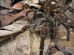 Esta aranha cava grandes tocas em zonas de bosque e nelas podem viver a vida inteira, com temperaturas variando anualmente de 21 °C a 42 °C (a temperatura média anual é de 28 °C), em lugares úmidos, com umidade do ar variando de 80% a 90%.
