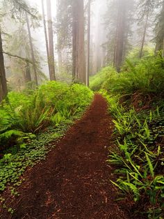 Misty Forest, The Redwoods, California photo via nature