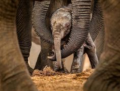 """Adorable baby I love them    Credit : @daily_elephant.lovers - """" circles of protection """" - . . For info about promoting your elephant  art or crafts send me a direct message @elephant.gifts or email elephantgifts@outlook.com  . Follow @elephant.gifts for beautiful and inspiring elephant  images and videos every day! . #elephant #elephants #elephantlove"""