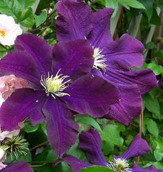 Buy Clematis 'Warszawska Nike' and shop across a great range of Climbing Plants from Irelands award winning lifestyle and garden centre the Arboretum. Woodside Garden Centre, Clematis Plants, Hardy Plants, Garden Architecture, Nike, Purple Flowers, Shrubs, Climbing, Warsaw