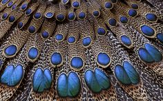 Peacock feathers-
