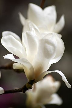 Magnolia kobus | Flickr - Photo Sharing!