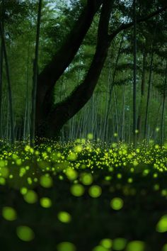 16 best Fireflies images on Pinterest   Fireflies  Glow worms and     Fireflies glowing under the Trees