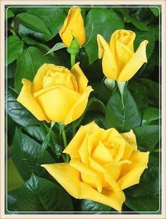 (Rosen Tantau One of the most famous yellow Hybrid Teas. Medium sized flowers in an intensely pure yellow. Hybrid Tea Roses, 5d Diamond Painting, Love Rose, Exotic Flowers, Rare Flowers, Flowers Gif, Photo Craft, Ikebana, Rose Buds