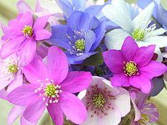 Hepatica Hepatica Nobilis Var Japonica Tiny Lowgrowing Plant - Spring wikipedia