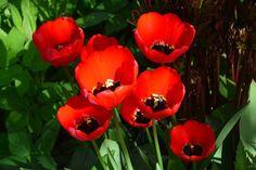 Punaista tulppaania