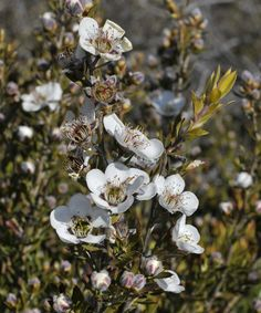Leptospermum turbinatum, commonly known as Shiny Tea-tree, is a shrub species that is endemic to the Grampians and nearby ranges in Victoria, Australia. It grows to about 3 metres high and has narrow leaves that are about 3 cm long. White flowers appear between October to December in the species native range