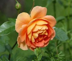 Pat Austin Rose | Pat Austin ' Rose | Roses | Pinterest
