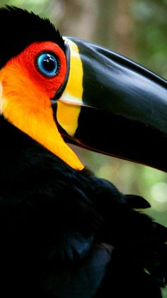 Toucan, Brazil-  Toucan play this game,who pins next.
