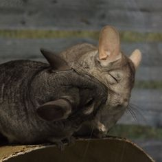 by FriendFrog on deviantART A day in the life of the chinchilla couple at the San Diego Safari Par Pet Guinea Pigs, Guinea Pig Care, Animals And Pets, Baby Animals, Cute Animals, Chinchilla Cute, Reptile Cage, Reptile Enclosure, Cute Creatures