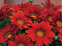 Gazania Seeds New Day Red Shades Gazania Linearis 15 thru 200 Seeds Treasure Flower Seeds