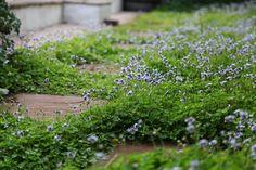 Viola hederacea - The Gardener Summer Flowers, Purple Flowers, White Flowers, Diy Planter Box, Diy Planters, Plant Breeding, Plant Tissue, Violet Plant, Plant Projects