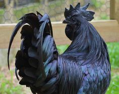 "Ayam Cemani is a breed of chicken, originating in Indonesia. It is a rarely kept breed. Ayam translates as ""chicken"" and Cemani is a village in central Java where they originated."