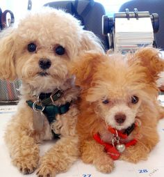 Adorable teacup poodles, the one on the left looks like my baby, Woody.