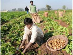 Monsoon fears: PSU banks to eye agri lending with caution for more details: http://www.agribazaar.co/index.php?page=item&id=2674