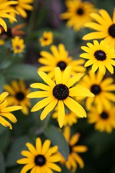 Rudbeckia fulgida var sullivantii goldsturm perennials rudbeckia fulgida var deamii summer flowersyellow mightylinksfo