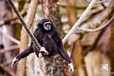 Gibbon Zoo Salzburg Salzburg, Monkey, Animals, Jumpsuit, Animales, Animaux, Monkeys, Animal, Animais