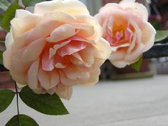 """'Reve d'Or' Rose. Is a climber. The name means """"dream of gold,"""" although the flowers are a delicious golden-apricot when they're fresh and the weather is cool."""