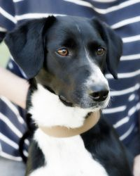 JASMINE - PLAYFUL is an adoptable Border Collie Dog in Carlisle, PA. JASMINE IS A SWEET AND VERY INTELLIGENT BORDER COLLIE/POINTER MIX WHO WEIGHS ABOUT 30 LBS.AND IS 10 MOS. OLD. SHE IS SPAYED, UTD ON...