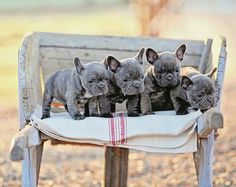 Blue Teacup French Bulldogs... I want 1 asap!!!!