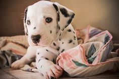 I have wanted a dalmatian for as long as I can remember. Who could turn that into a spotted puppy coat?