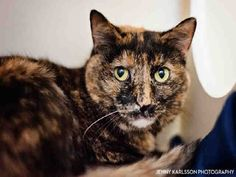Meet DARLA, a Petfinder adoptable Domestic Short Hair Cat | Pittsburgh, PA | Hi there, my name is Darla!!!I am a 7 year young short hair tortie!I am a sweet girl looking for...