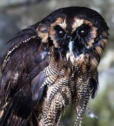 The brown wood owl
