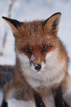 red fox from the Netherlands