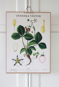Chisholm Larsson Gallery has over Original Vintage Posters, spanning all genres. Botanical Drawings, Botanical Illustration, Botanical Prints, Illustration Art, Illustrations, Wall Colors, House Colors, Playhouse Interior, Island Tattoo