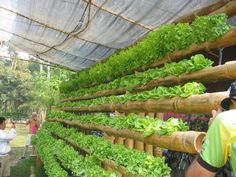 Bamboo and Lettuce Hydroponics System. Natural elements that work. Photo taken in Maejo University, Thailand